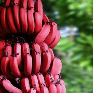 هل سمعتم عن الموز الأحمر من قبل؟ .. اليكم فوائده المذهلة